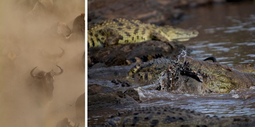 Wildebeest & Crocs