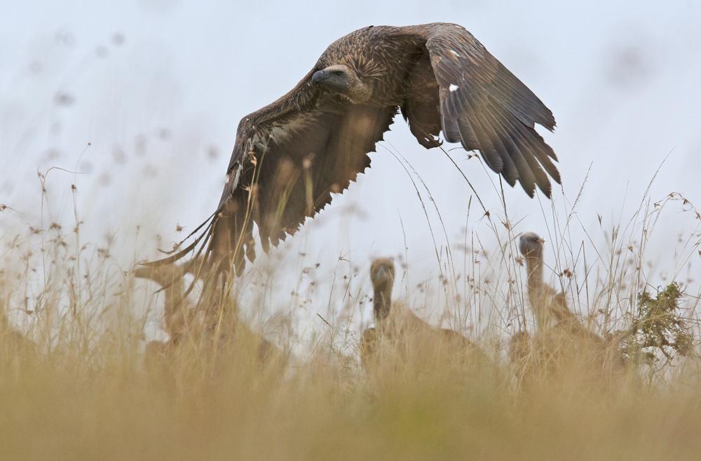 6. Vultures