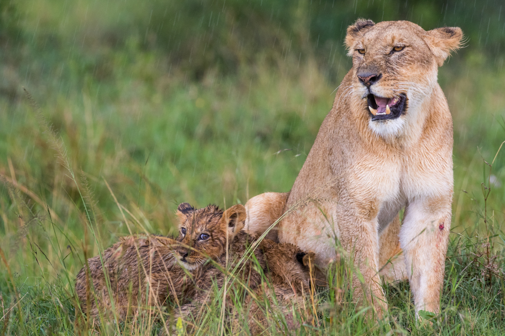 Lioness and her cubs in the rain