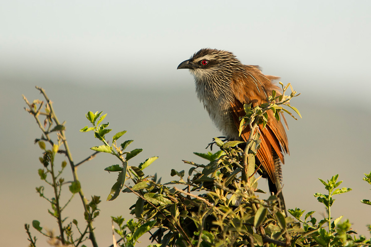 White-browed-coucal