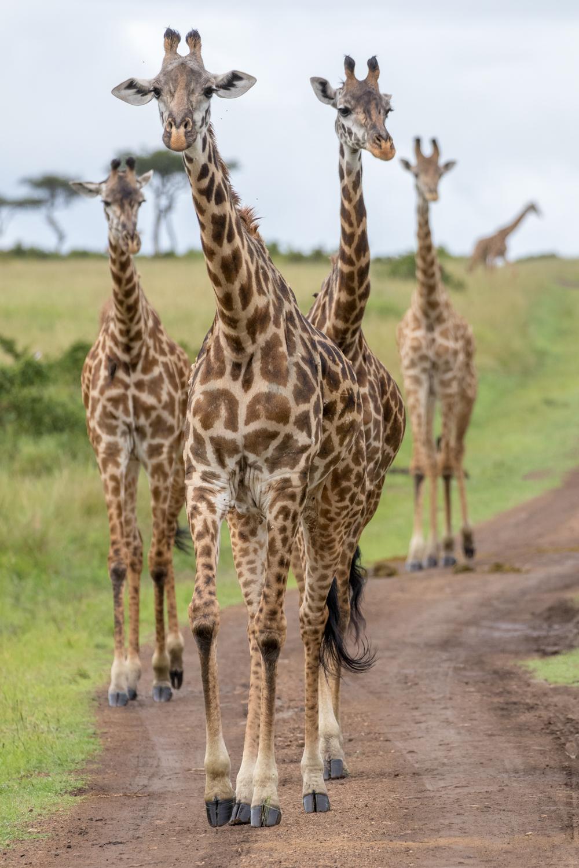 Giraffe Journey on Road