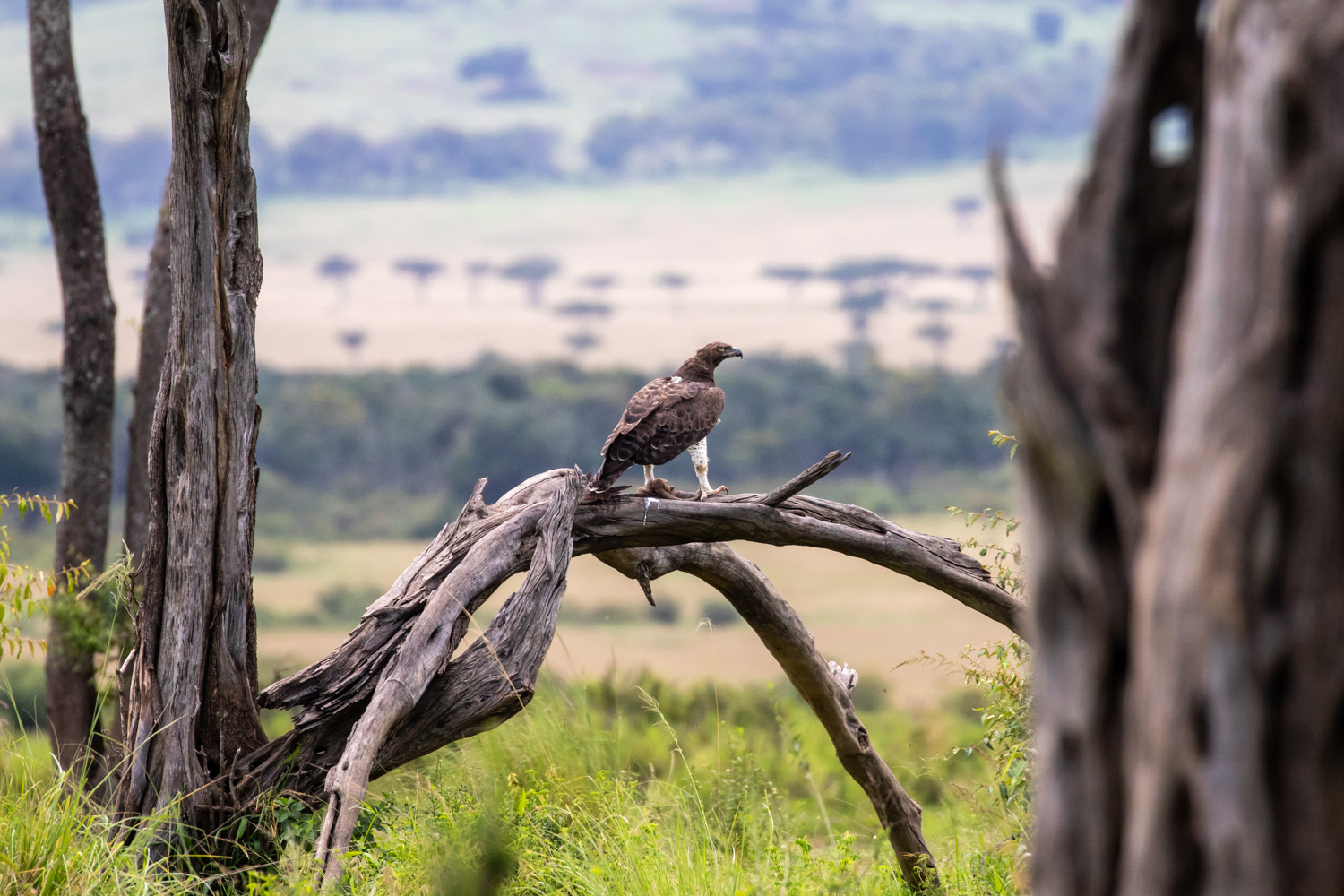 MARTIAL EAGLE WITH MONGOOSE
