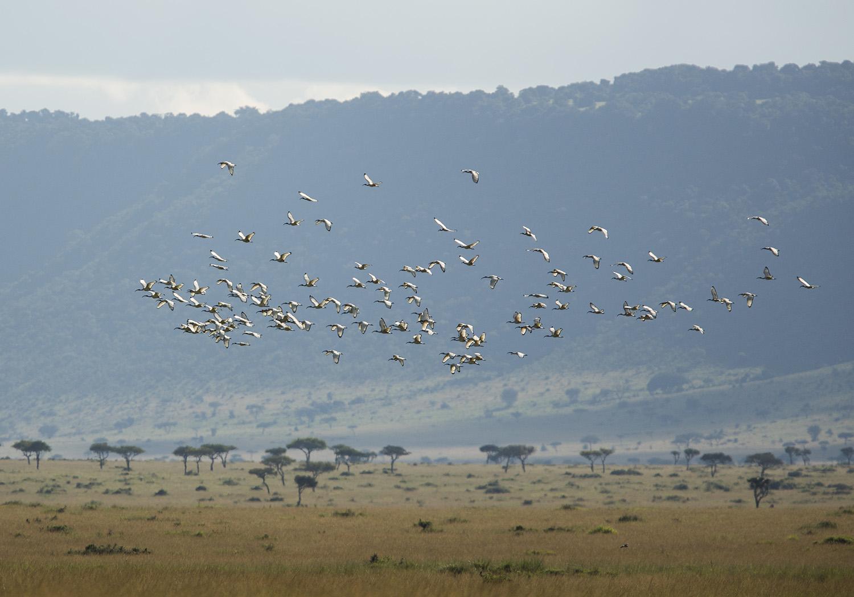Sacred ibis flock