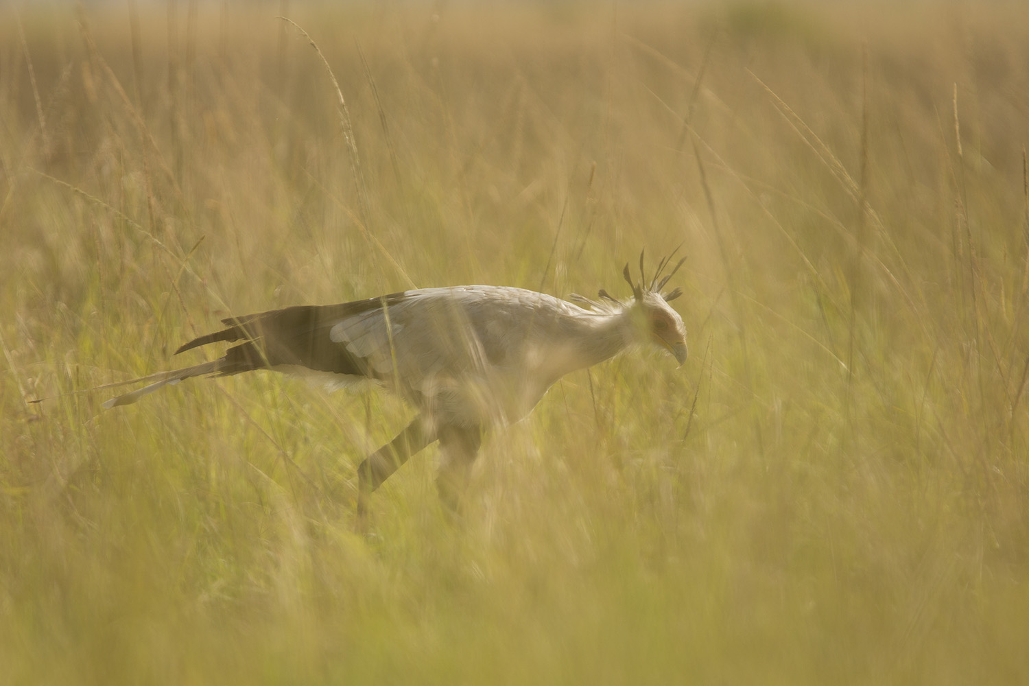 Secretary bird yellow