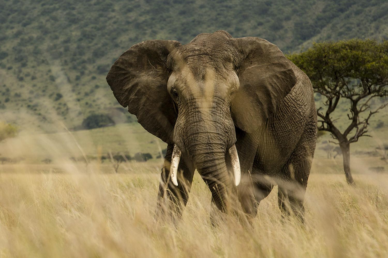 Elephant low grass