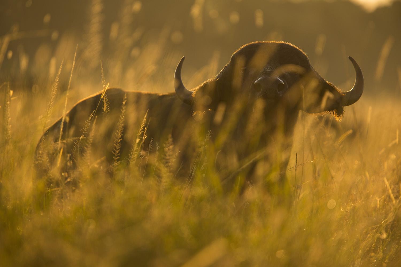 Buffalo stare backlight