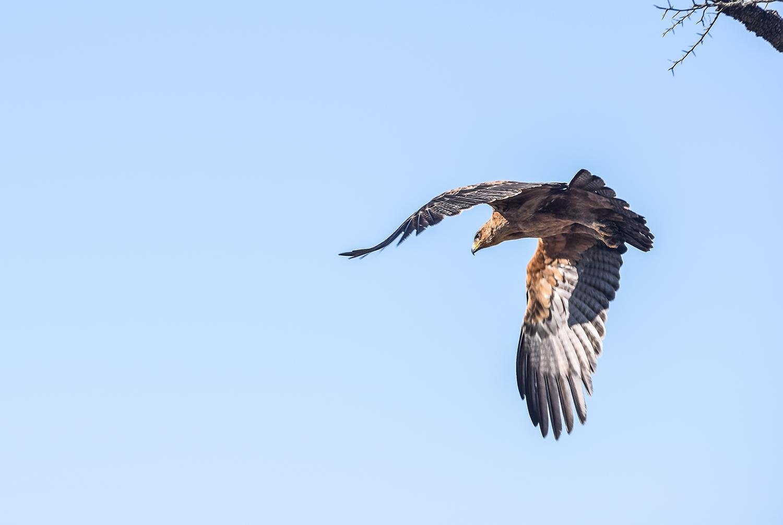Tawny Eagle 2