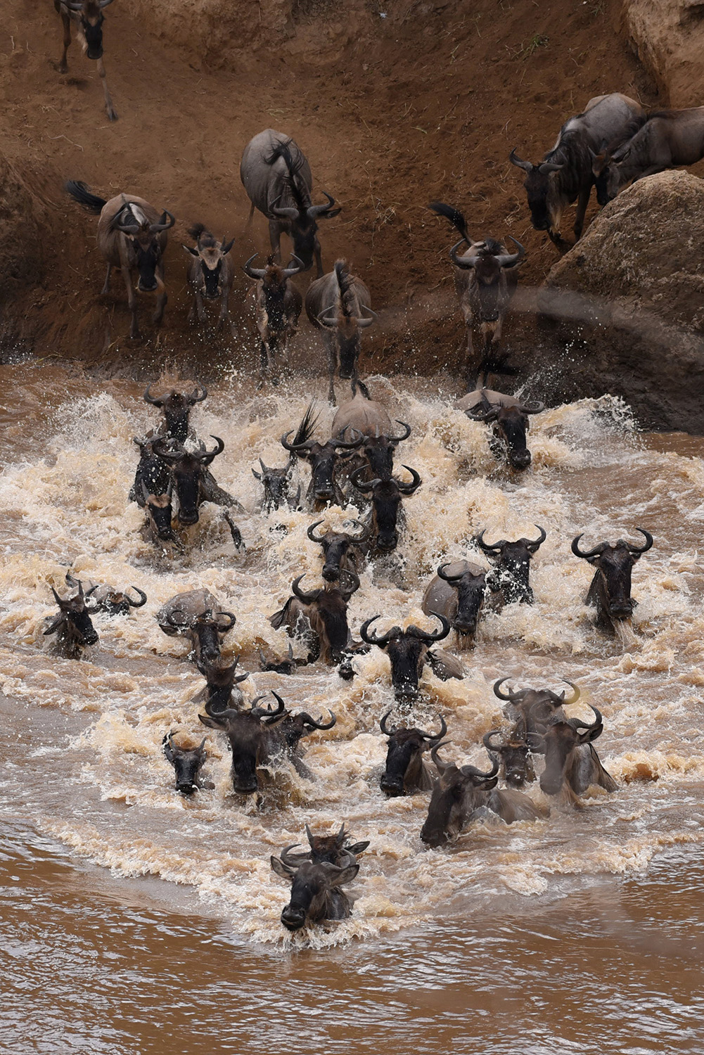 Wildebeest crossing during the great migration in the Maasai Mara