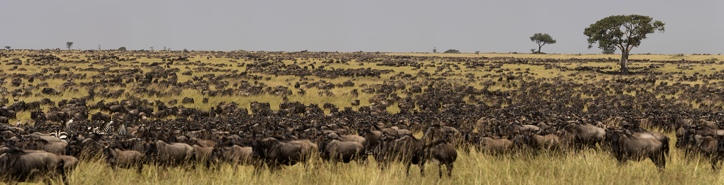 Wildebeest herd during the great migration in the Maasai Mara