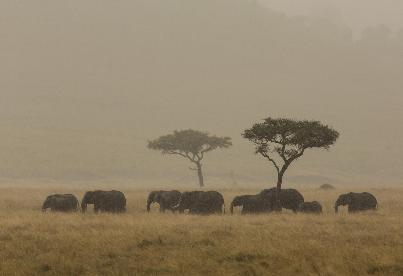 Elephants in a herd in Kenya's Maasai Mara