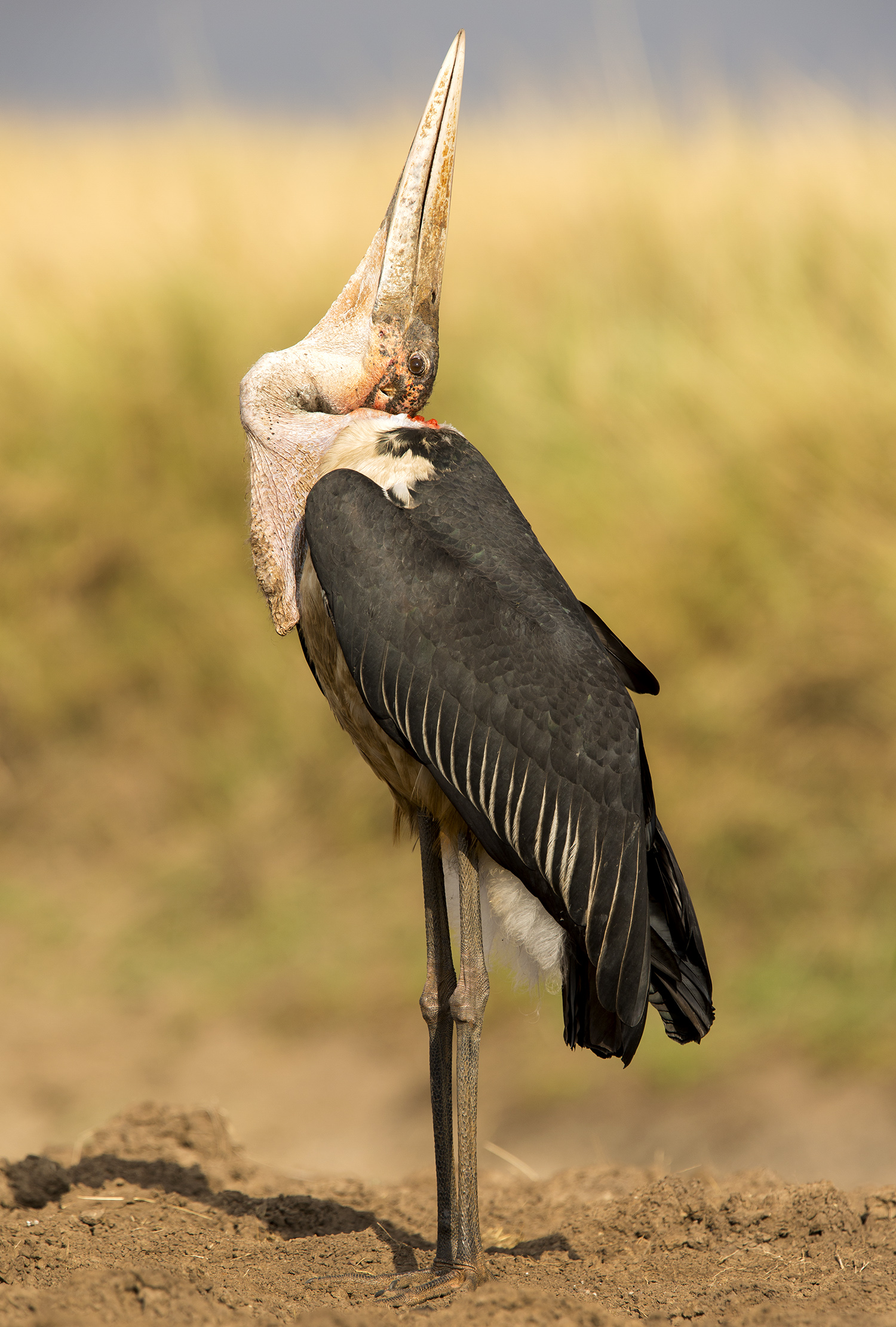 Marabou stork and neck