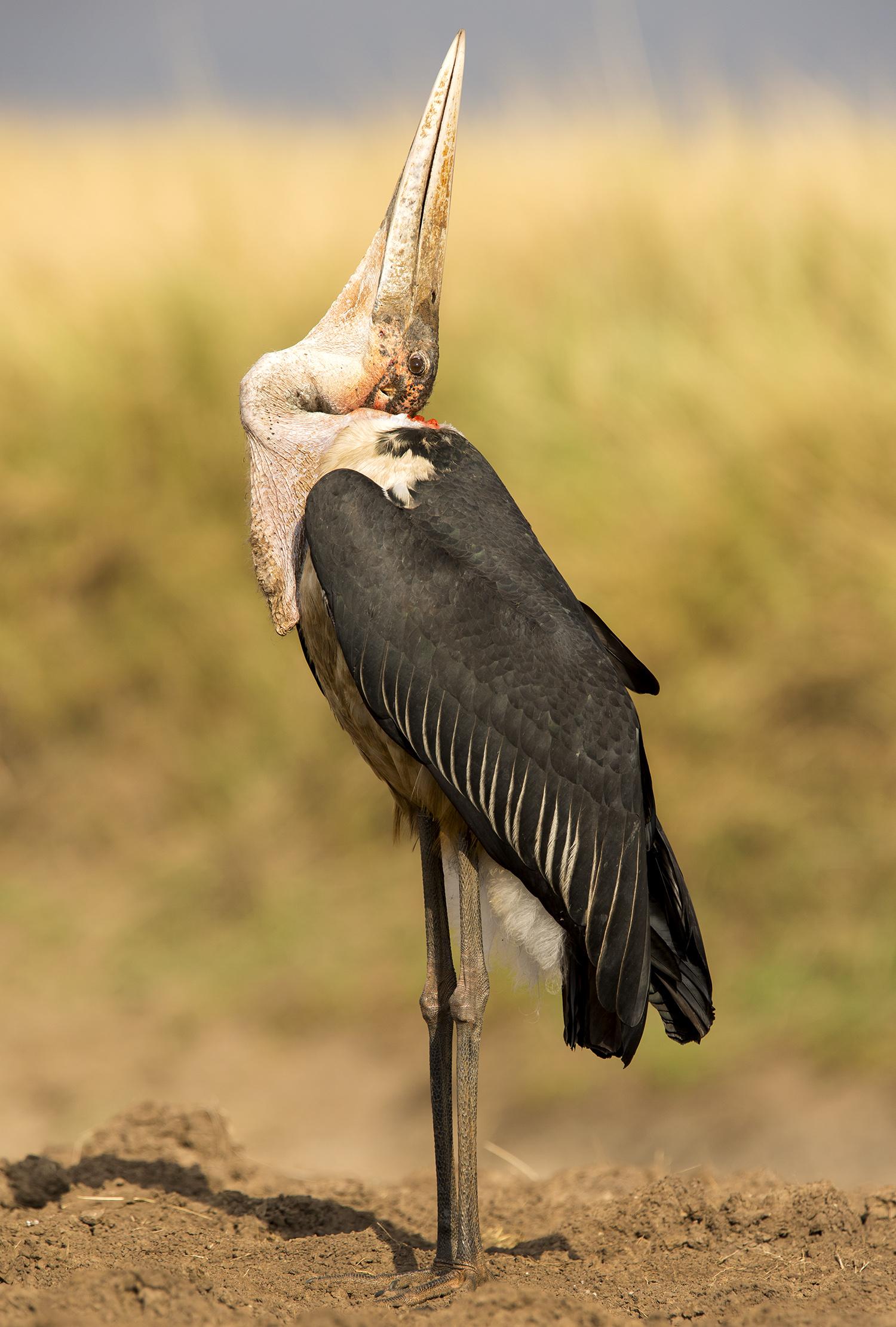 Marabou stork and neck