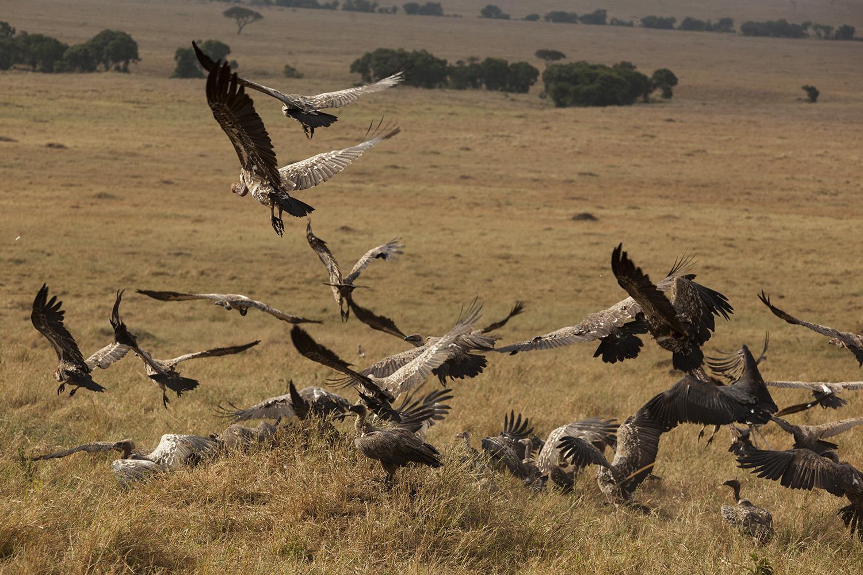 Vultures in flight in the maasai mara