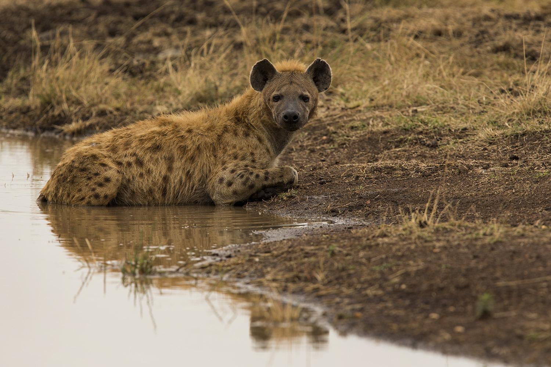 Hyena in water