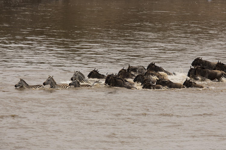 Zebra and wildebeest crossing swim