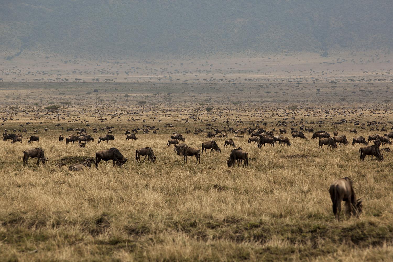 Wildebeest herd on burnt grass