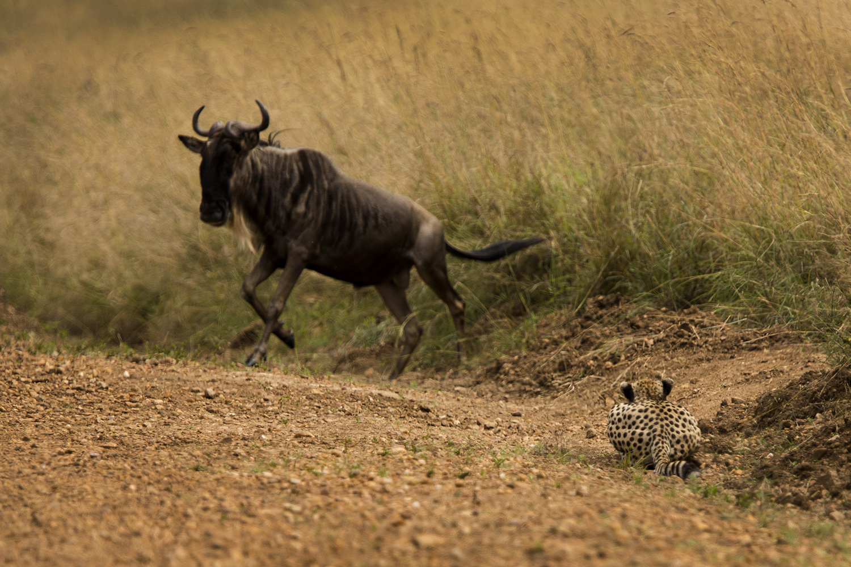 Cheetah and wildebeest