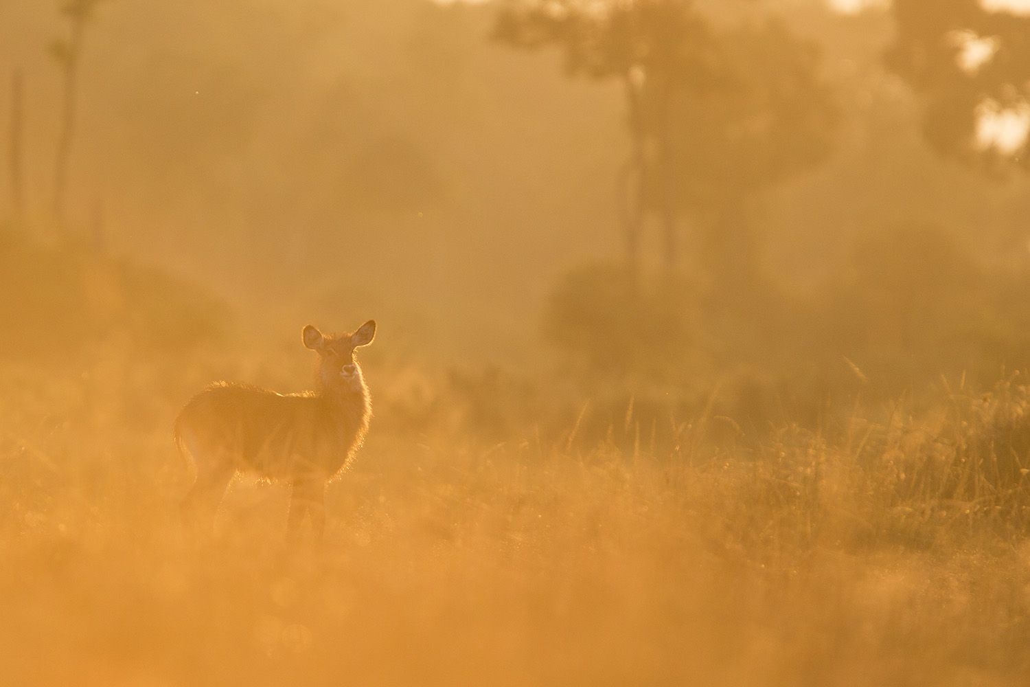 Waterbuck baby into light