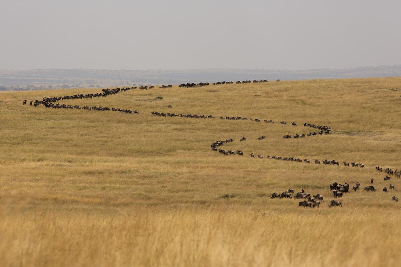 Wildebeest curve