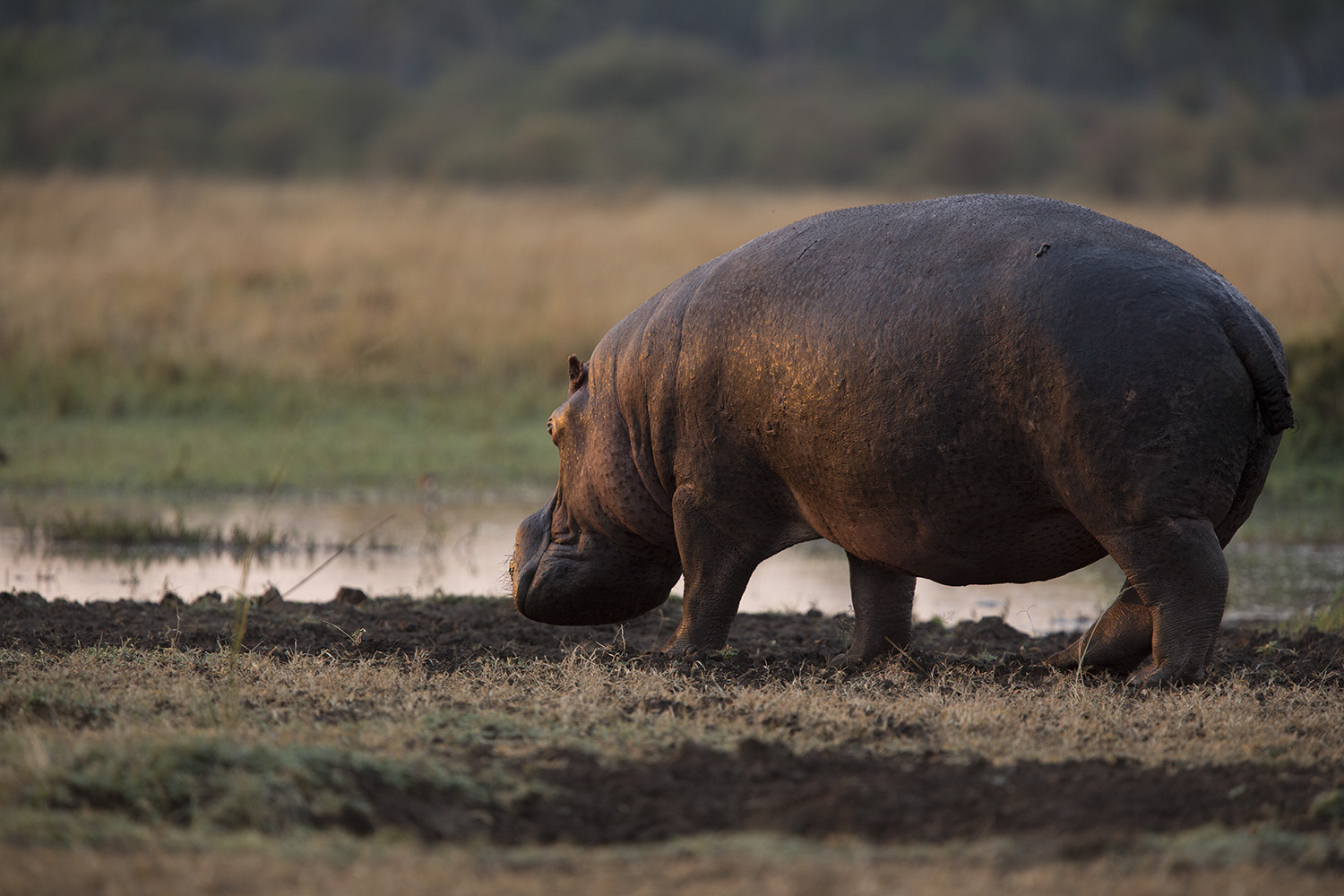 hippo not great