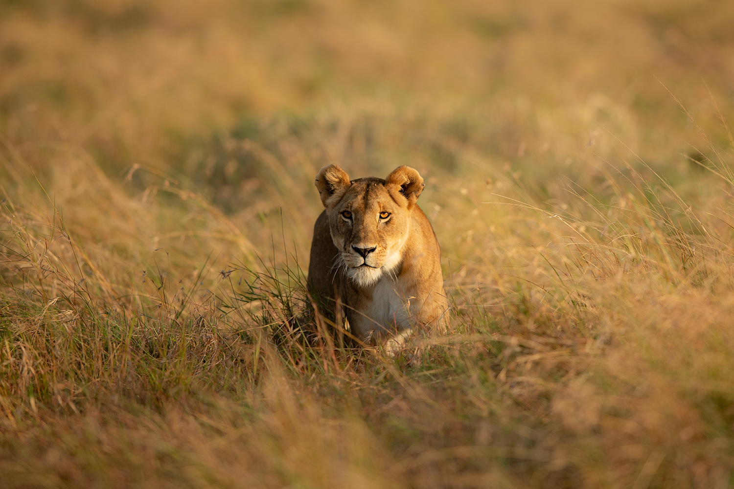 Angama Lioness in the grass at Maasai Mara