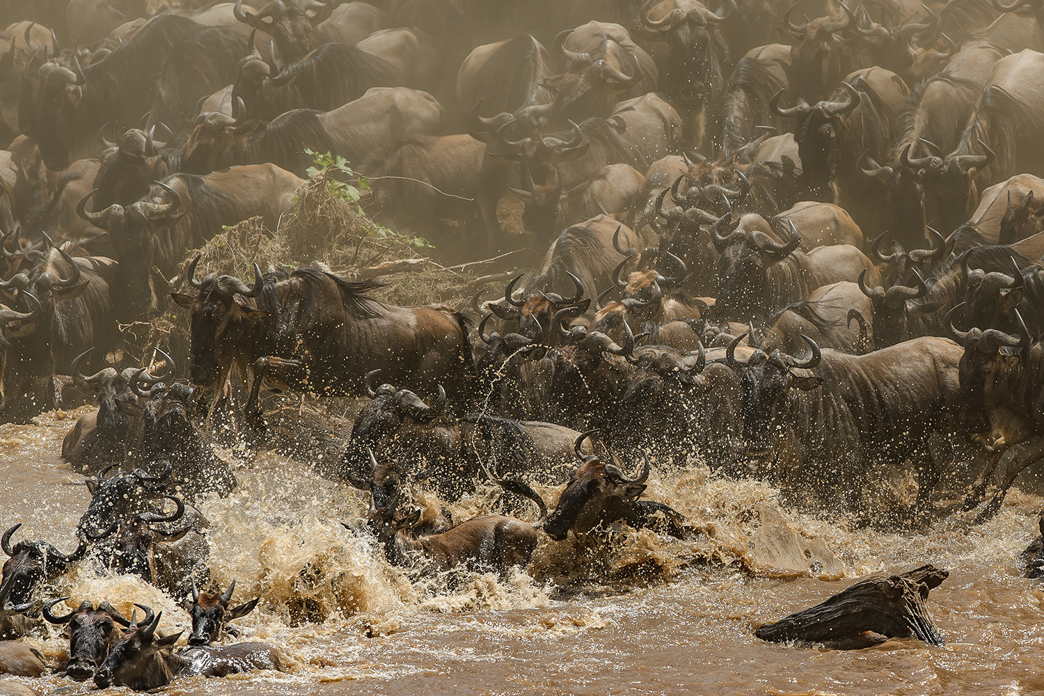 Chaos at a wildebeest crossing the great migration