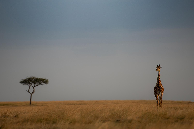 A giraffe in kenya