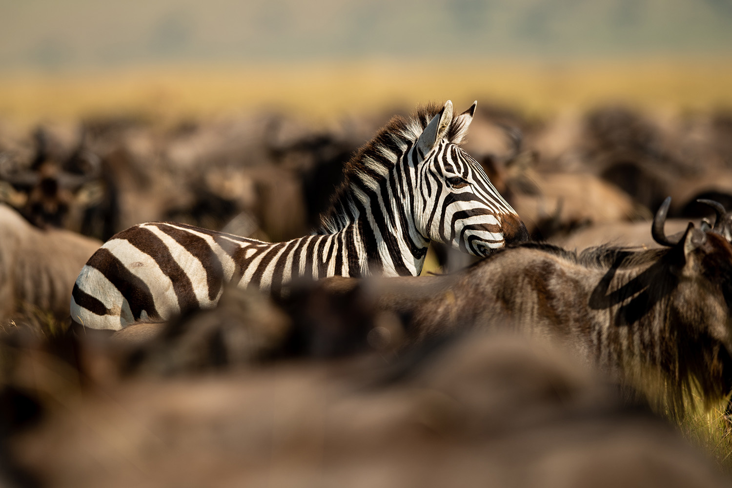 Zebra in the great migration giving contrast