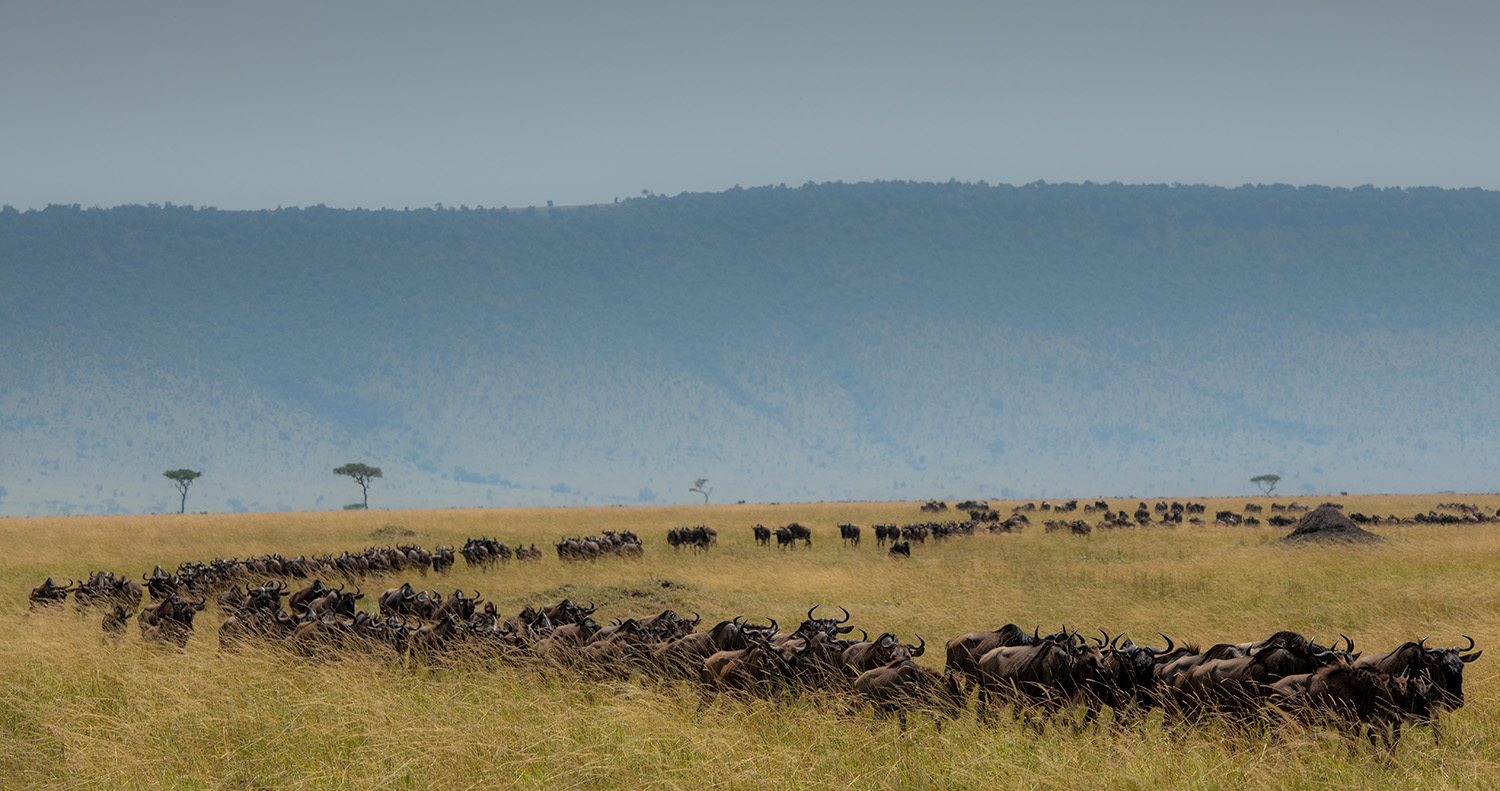 wildebeest migration marching in line