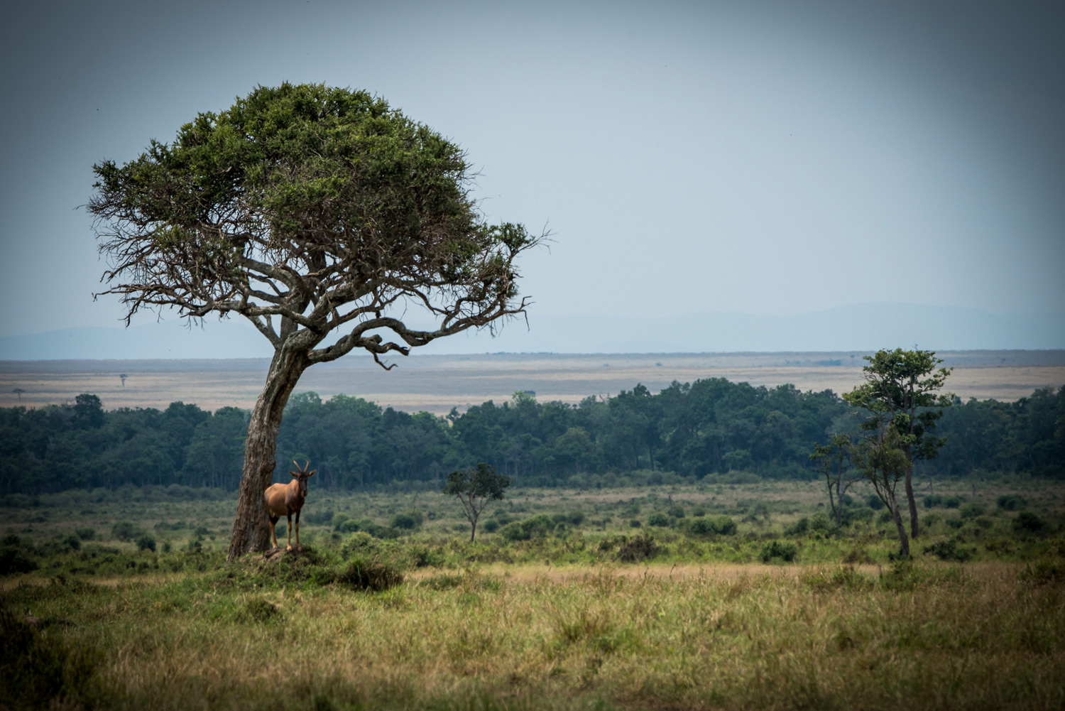 Topi and the tree in kenyan plains