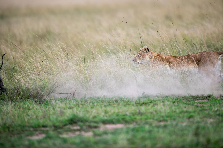 Lion chasing her prey