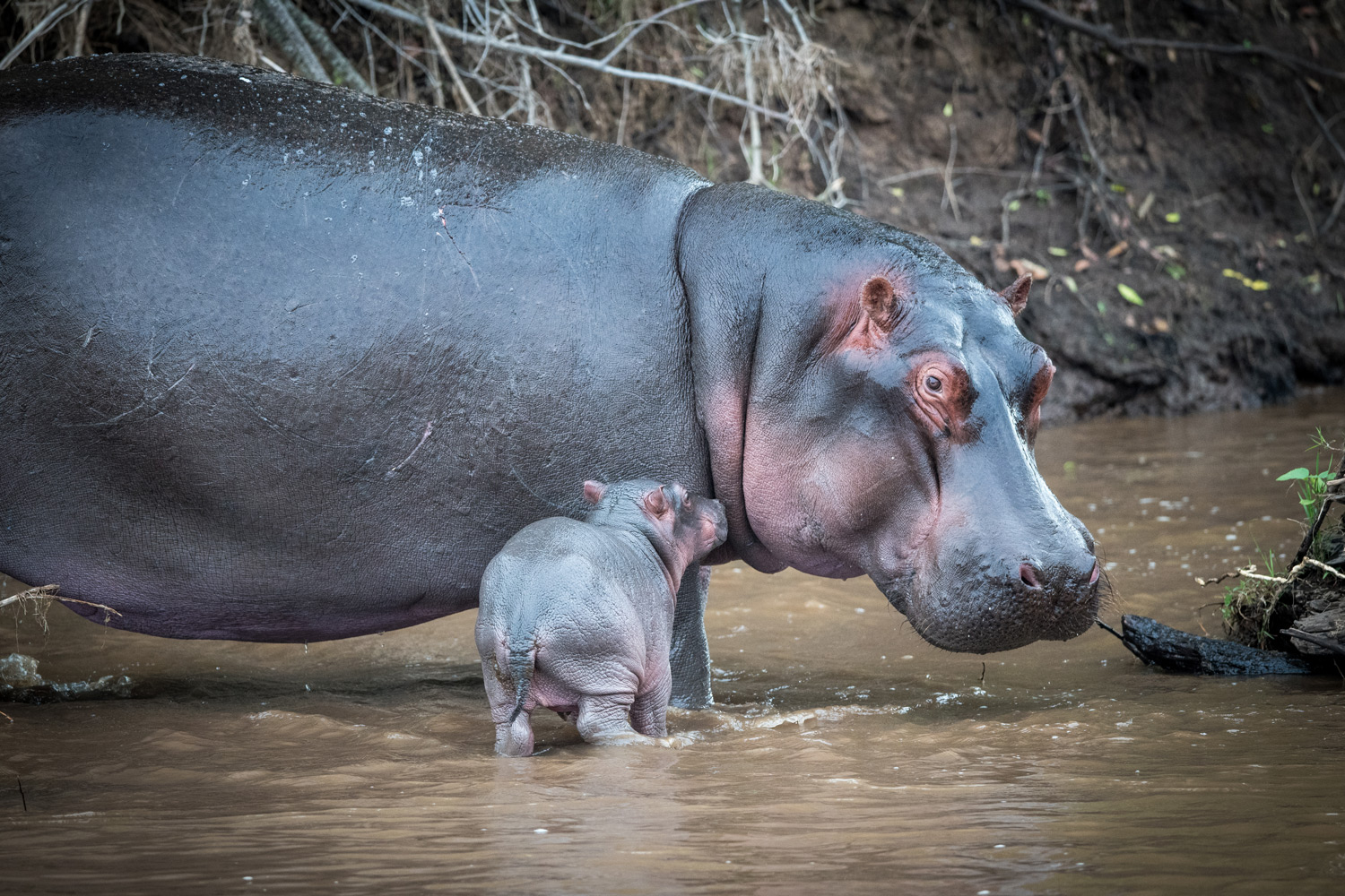 baby hippo only a few hours old with mom