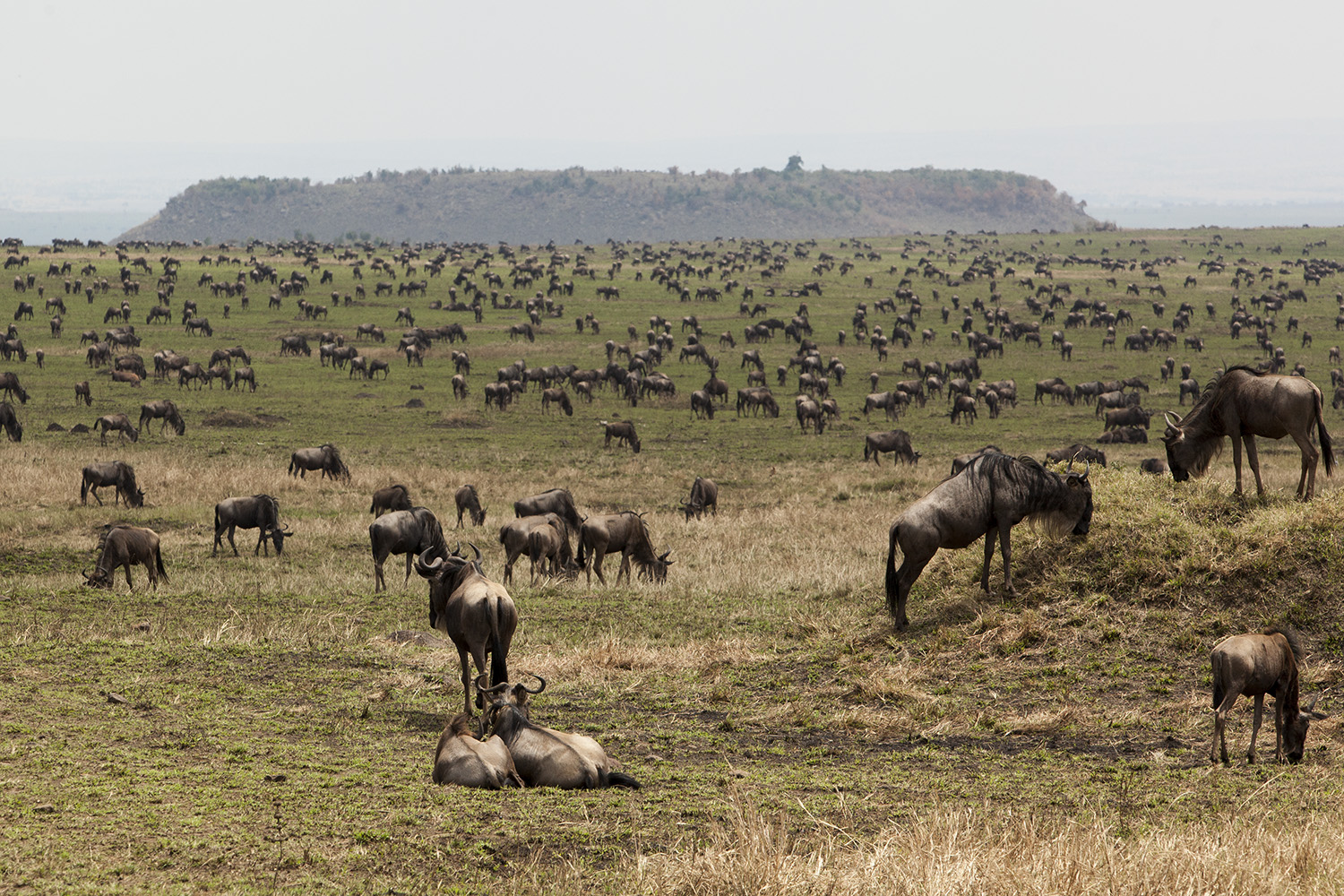 Wildebeest in burnt area