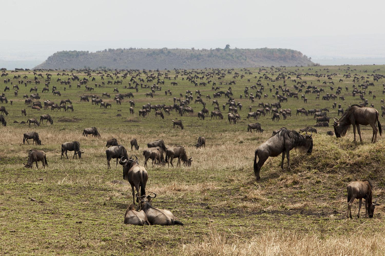 Wildebeest in burnt area