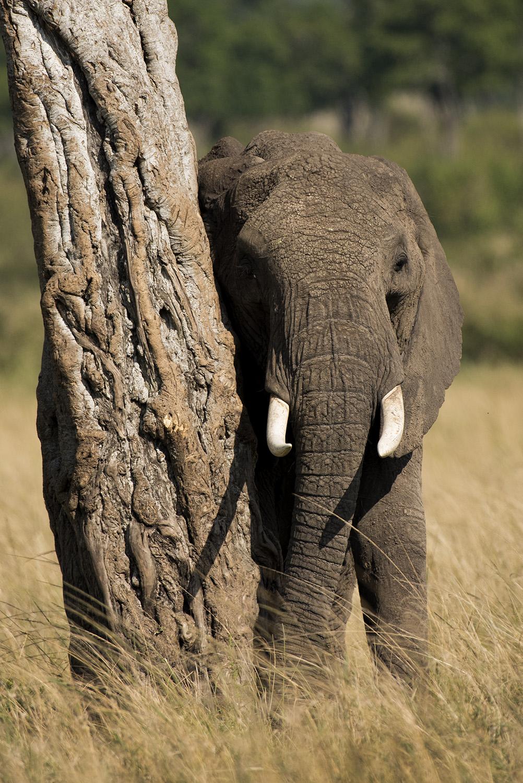Elephant and tree