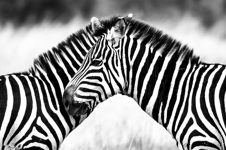 Zebra Abstract maasai Mara