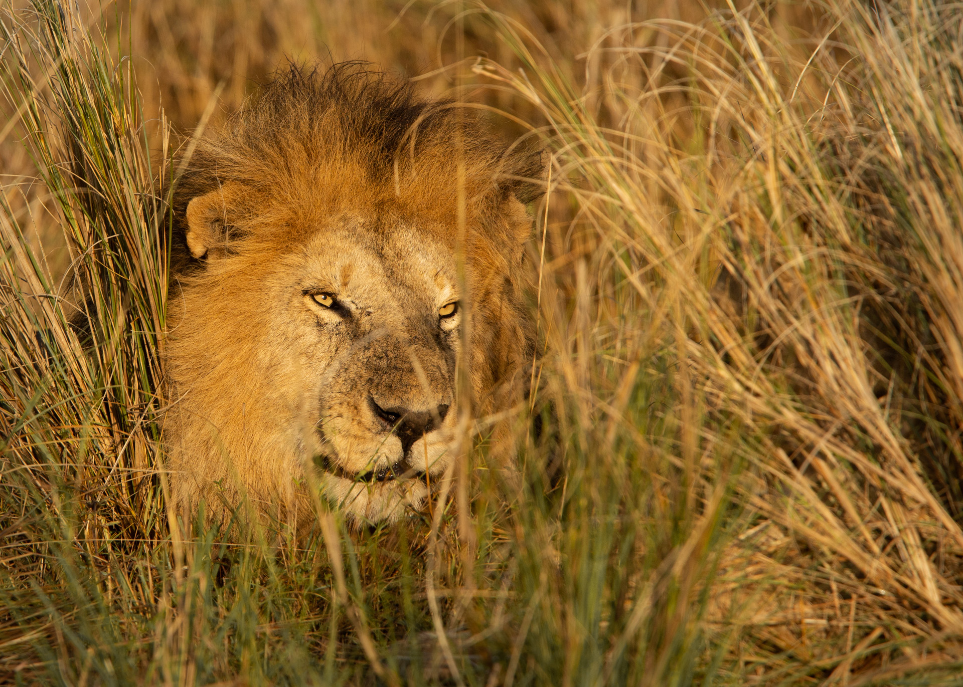 Male lion in sunlight