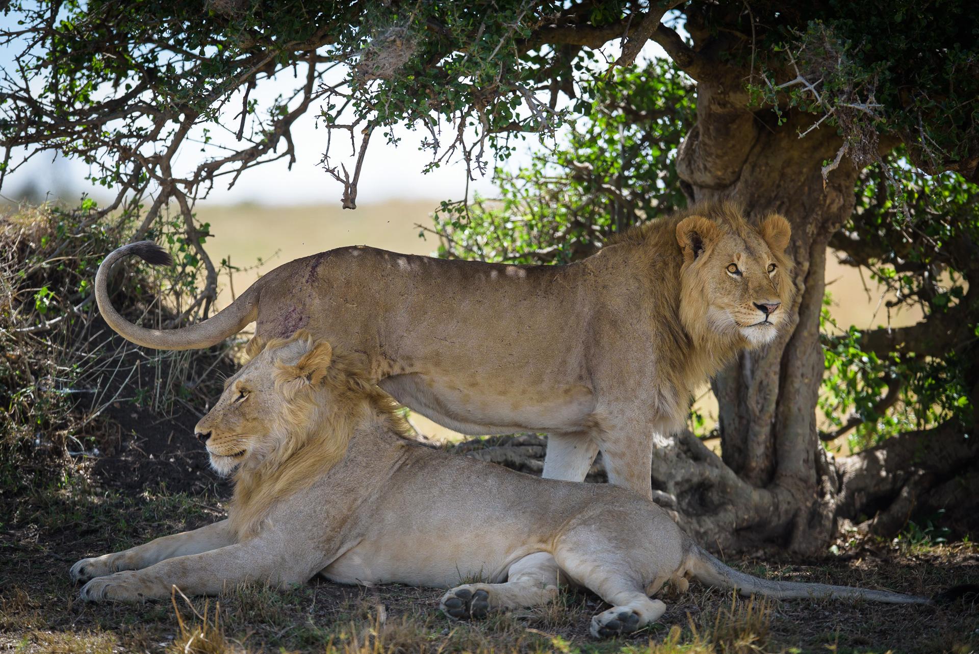 Male lions lazing