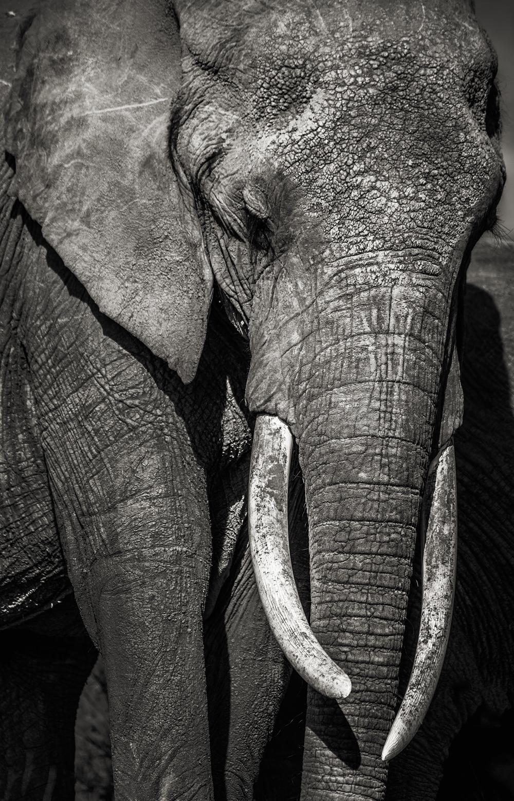 Elephant BnW