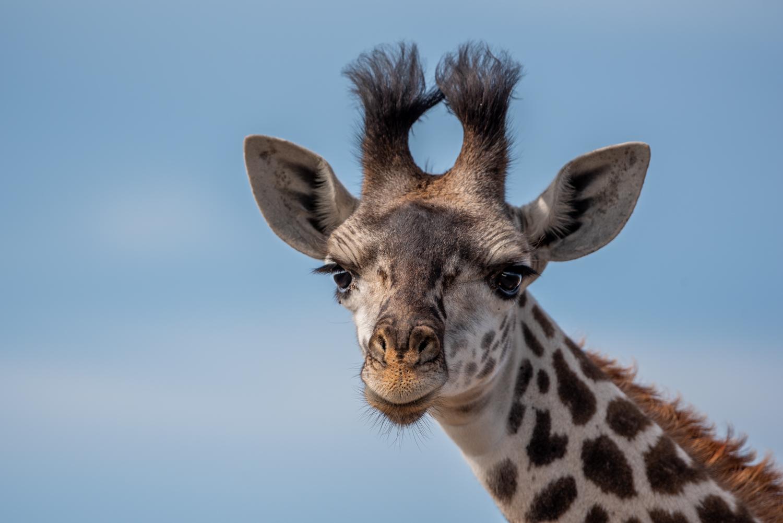 Giraffe baby 2