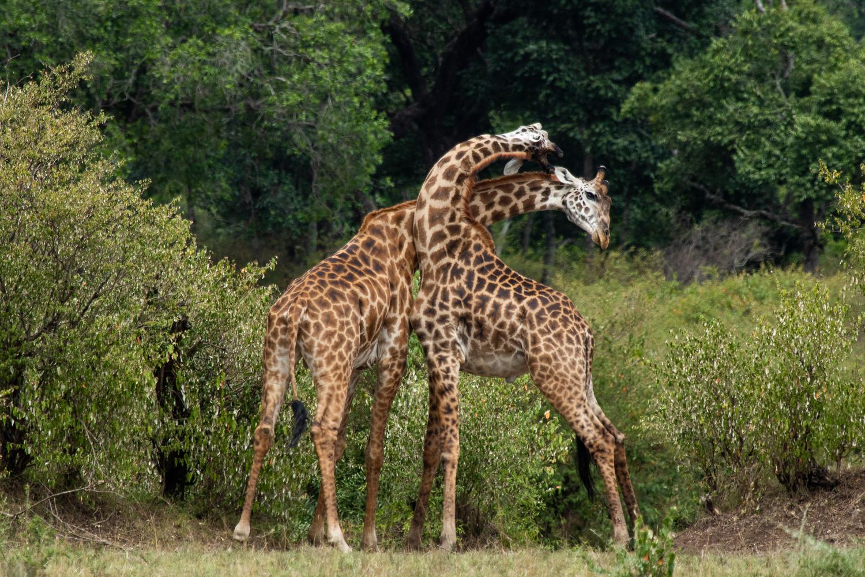 Giraffe Sparring