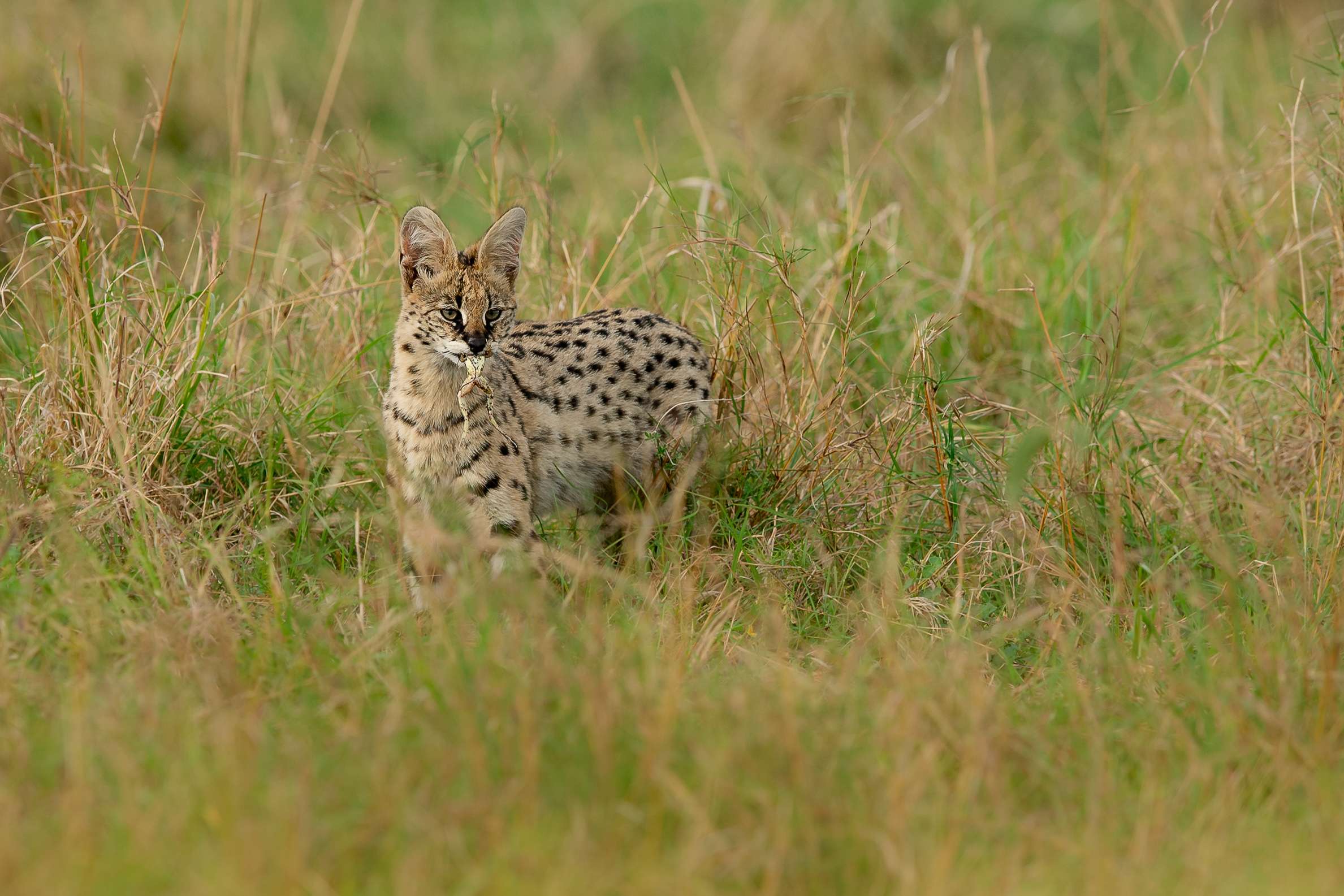 Serval cat with frog