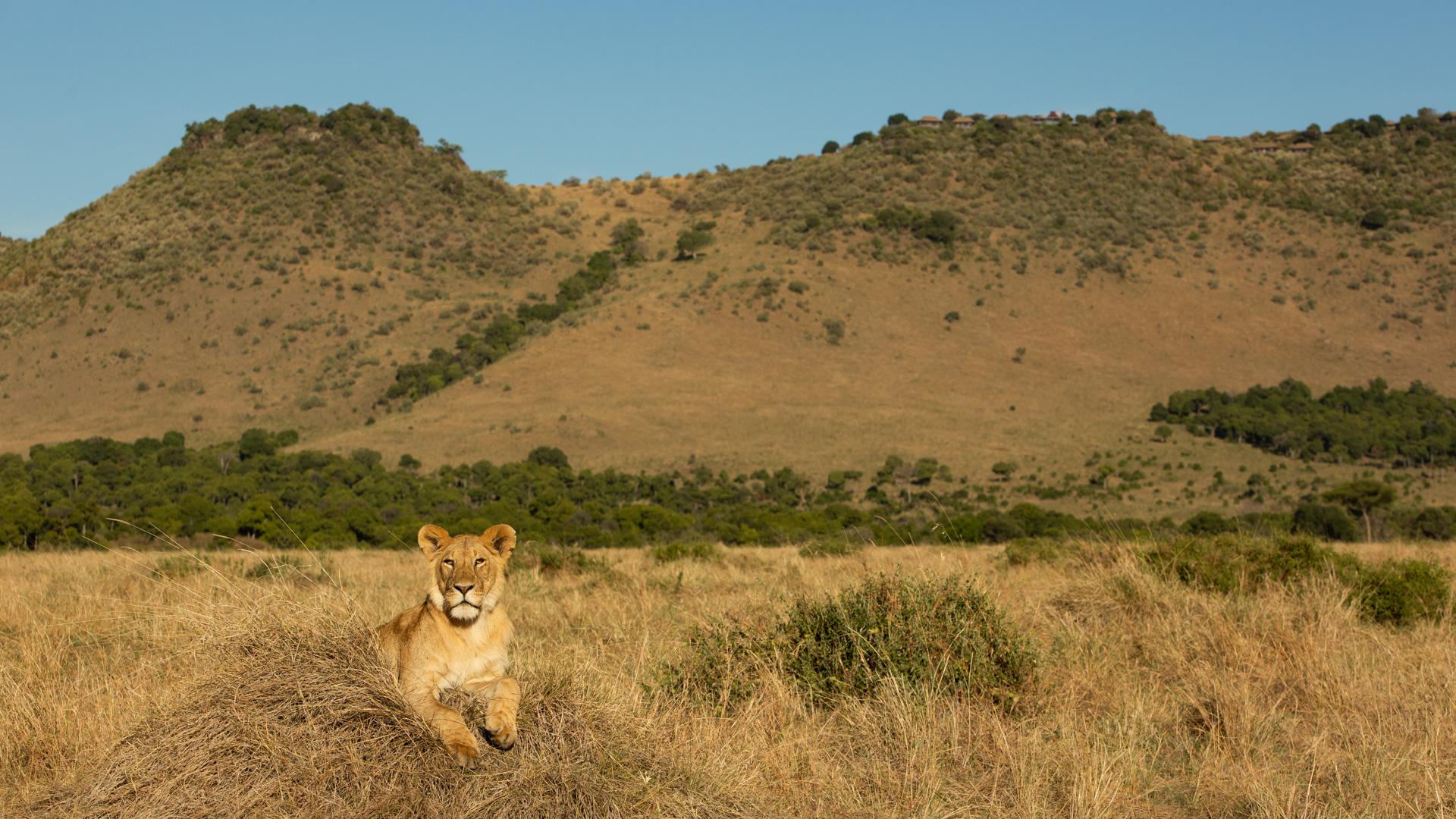 Angama Mara with lions