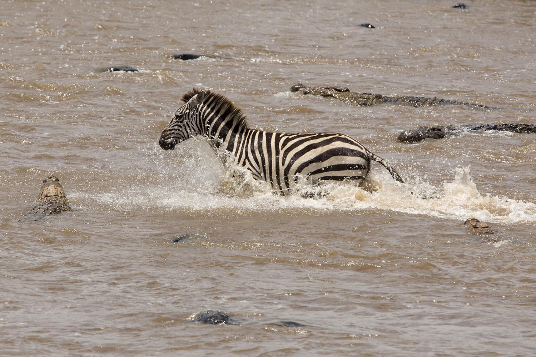 Zebra crossing mara river