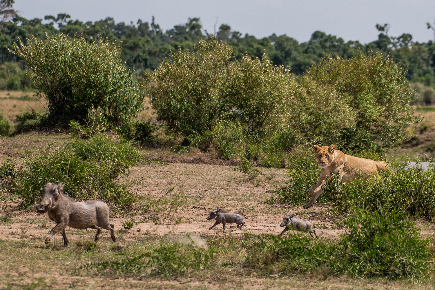 Lioness and warthog