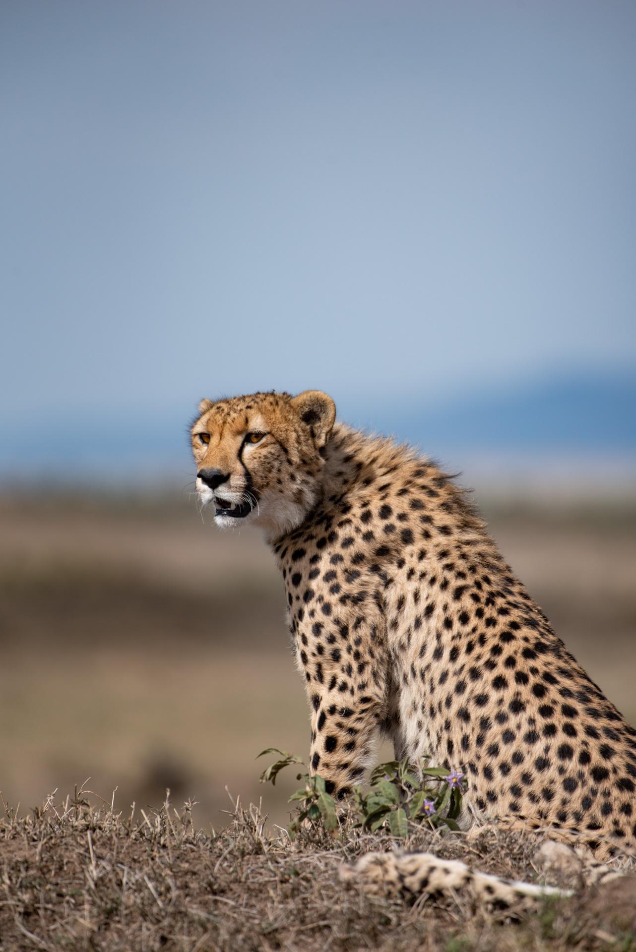 Cheetah Scan