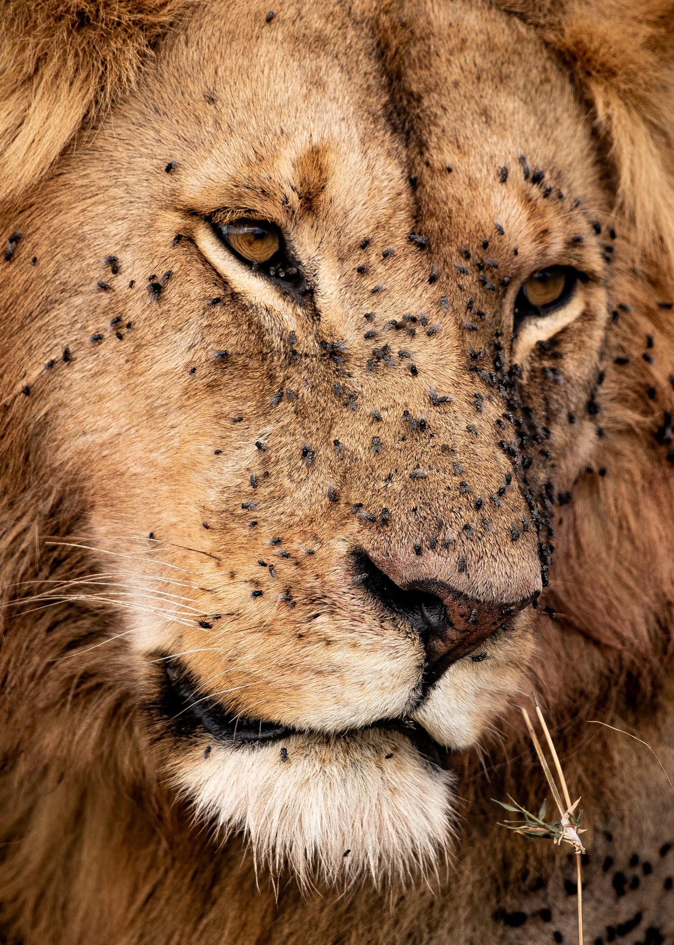 Lion Portrait1