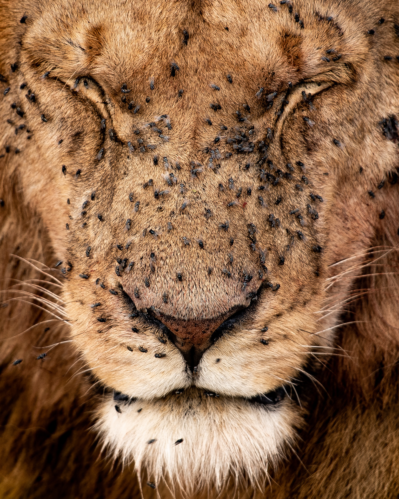 Lion Portrait2