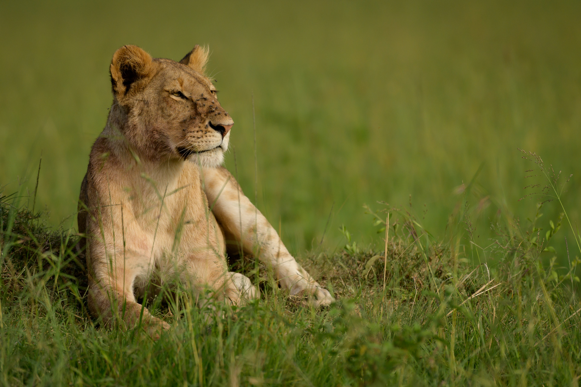 Lioness and green sitting