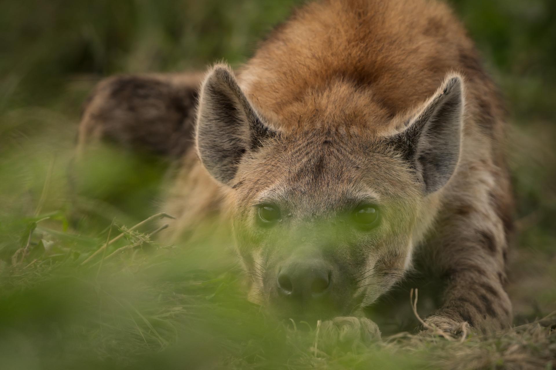 Hyena behind the grass
